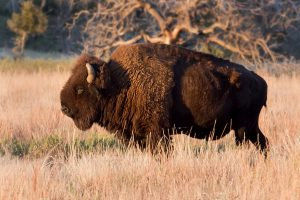 Bison by Larry Smith is licensed under CC BY 2.0