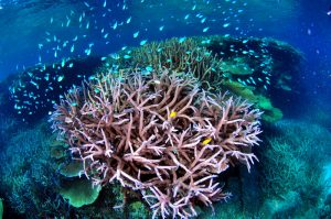 Picture of coral at Wheeler Reef, Great Barrier Reef, by Rob Jeff is licensed under CC BY-NC 2.0